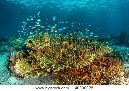 Corals with small fish in the tropical sea.