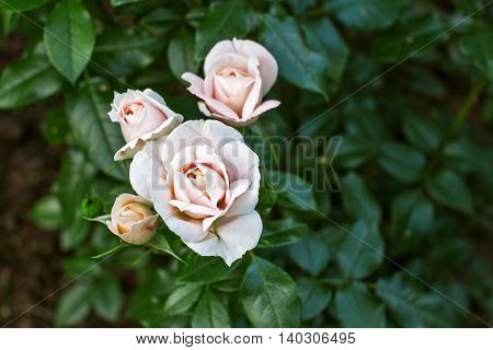 Shrub roses in the summer garden in the city