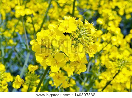 Rapeseed (Brassica napus). Field of bright yellow rapeseed in summer.