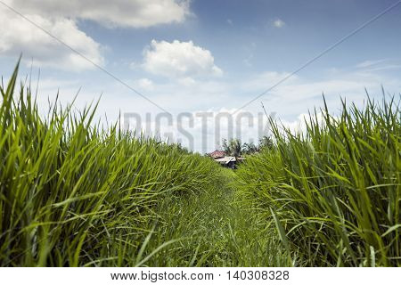 Terrace rice fields on a sunny day, Bali, Indonesia. Fresh green grass, road across field