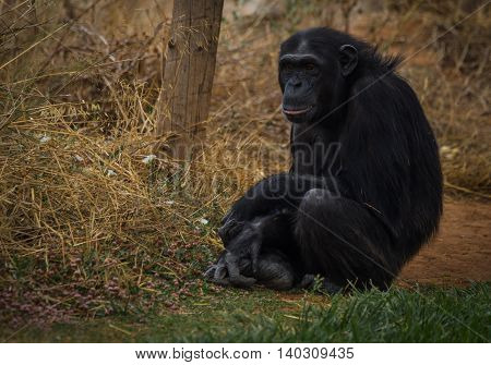 Big Black Chimpanzee Sitting On A Meadow