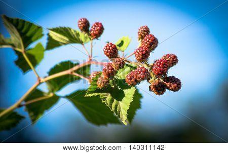 Ripening of the blackberries on the blackberry bush