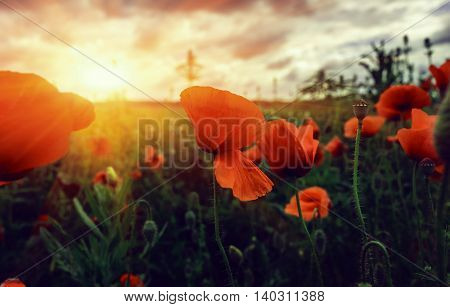 bud wild poppy flower in a field with grasses at sunset