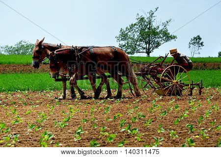 Lancaster County Pennsylvania - June 8.2015: Amish farmer with a team of two donkeys working in a field of newly planted corn
