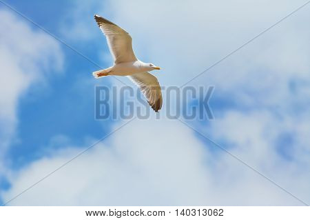 Big Seagull Soaring in the Cloudy Sky