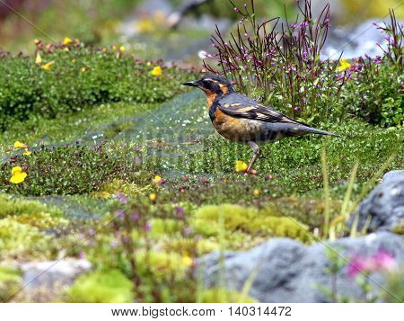 Varied Thrush in Alpine Meadow at Mount Rainier