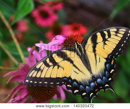 A yellow and black swallowtail butterfly on flowers