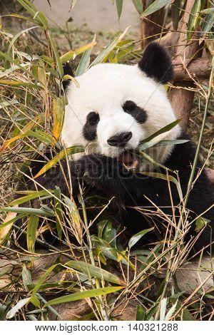 Young panda enjoying a lunch of bamboo shoots