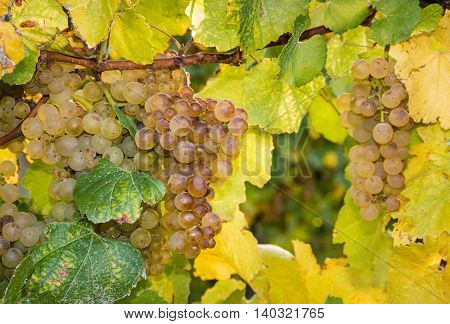 close up of ripe white grapes on vine