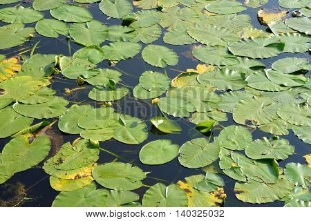 Yellow water-lily lat Nuphar lutea - a perennial aquatic plant Potbelly species of the genus of the family Nymphaeaceae.