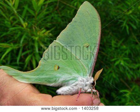 Nighr Butterfly (Actias Artemis)