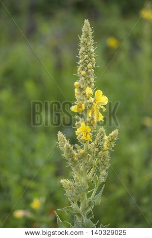 Great Mullein (Verbascum thapsus) flowering in a Dune Valley