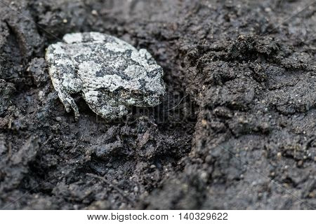 Gray Tree Frog Sitting In A Boot Print on a muddy trail