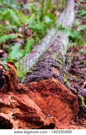 Closeup of storm damage, tree trunk snapped off in the woods