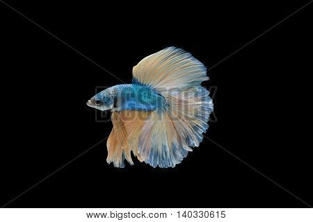 Blue and yellow Halfmoon Betta splendens or siamese fighting fish isolated on black background included clipping path Plakat Thailand