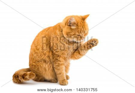 beautiful ginger cat isolated on white background