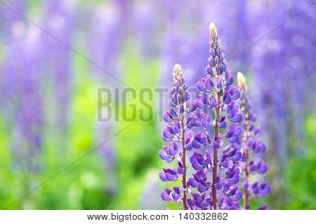 Blooming lupine flowers. A field of lupines. Sunlight shines on plants. Violet spring and summer flowers. Gentle warm soft colors blurred background.