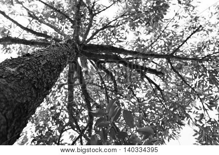 bottom up view of a durian tree in monochrome style