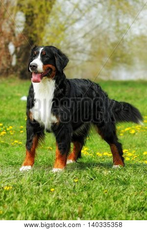happy family Bernese mountain dog on summer nature walks stands on the grass front view full height