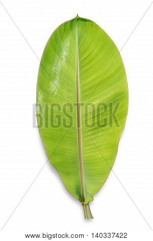 young banana leaf isolated on white background File contains a clipping path.