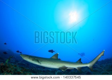 Shark and scuba diver in blue ocean with sun