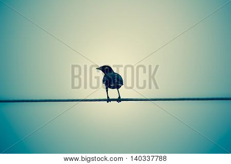 Common Myna Bird On Electric Wire