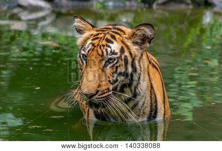 Bengal Tiger (Panthera Tigris Bengalensis) submerged in water. Close up head shot.