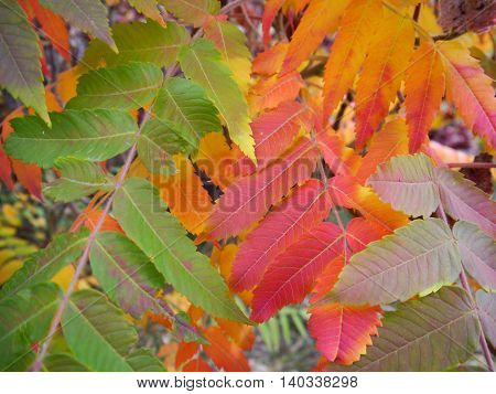 Colorful fall leaves in Colorado from a staghorn sumac tree