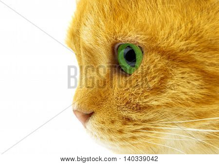 brown ginger cat isolated on white background