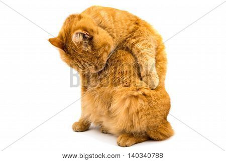 ginger tiger, cat isolated on white background