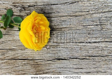 Beautiful yellow rose on the wooden background