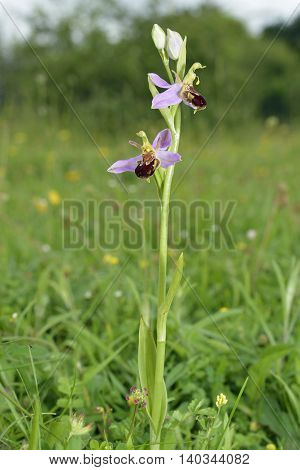 Bee Orchid - Ophrys apifera Two flowers on spike