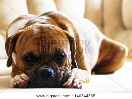 breed dog portrait of a german boxer lying on the couch, beautiful, pensive