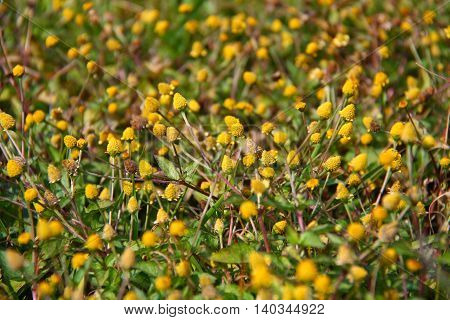 Tiny yellow flowers field in sunny day