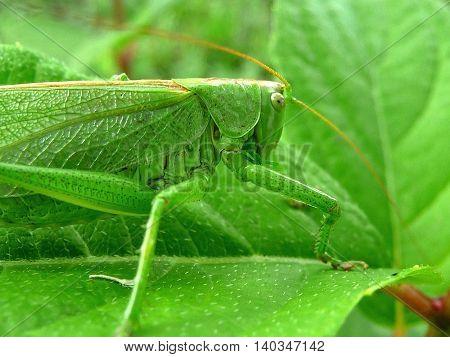Macro photo of green grasshopper on a green leaf