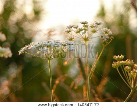 Meadow plants illuminated by the evening sun