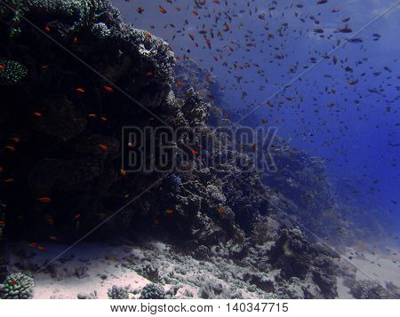 Red small fish with hard and soft colals. Coral reef on the sand bottom. Underwater paradise for scuba diving freediving. Red sea Dahab Egypt.