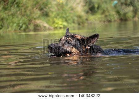 German Shepherd Swims In The Water In Summer Day