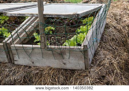 Lettuce plants in a biological cold frame