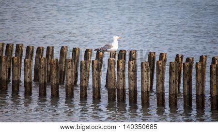 A lone seagull sits on the breakwater Poti Georgia.