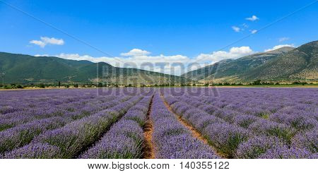 Panoramic view of lavender provence in mountains