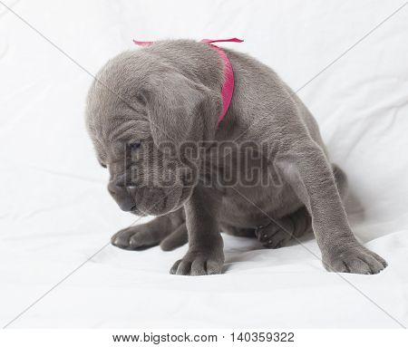 Purebred Great Dane puppy looking for something on a white sheet