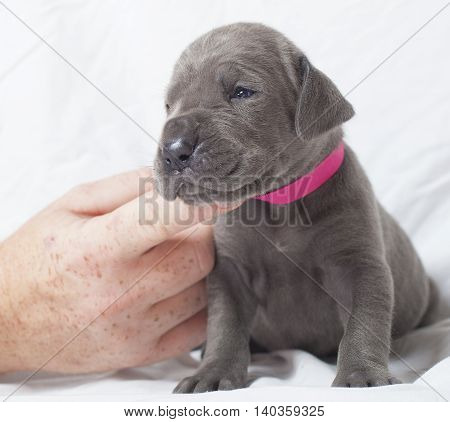 Great Dane purebred puppy that is three weeks old