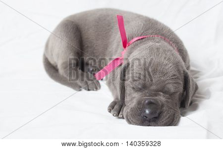 Very young grey Great Dane purebred puppy napping on a white sheet
