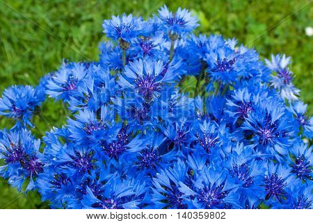 beautiful wildflowers cornflowers, perfect background for your concept or project