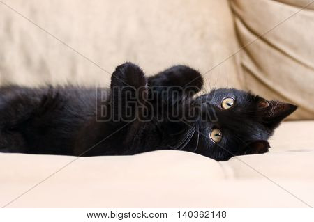 portrait of a little black kitten, three months, purebred, with big yellow eyes lying on her back on a beige sofa, very cute