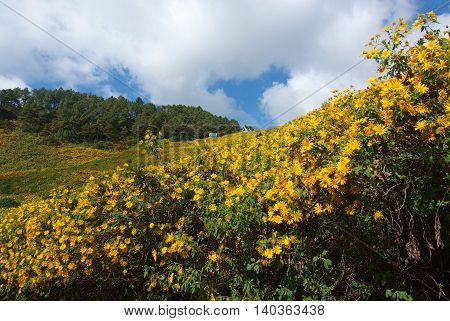 Tree marigold Mexican tournesol Mexican sunflower Japanese sunflower Nitobe chrysanthemum at Mae U Kho Khun Yuam District Tree marigold at Mae Hong Son Thailand