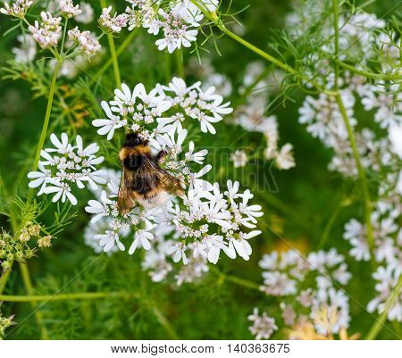 Bright Furry Bumblebee On White Small Flowers