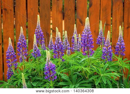 Blooming pink lupine on fence background. Horizontal composition