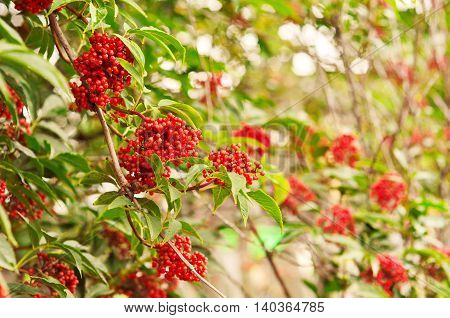 Rowan-tree lush bunches of red mountain ash on the branches of a tree. shallow depth of field